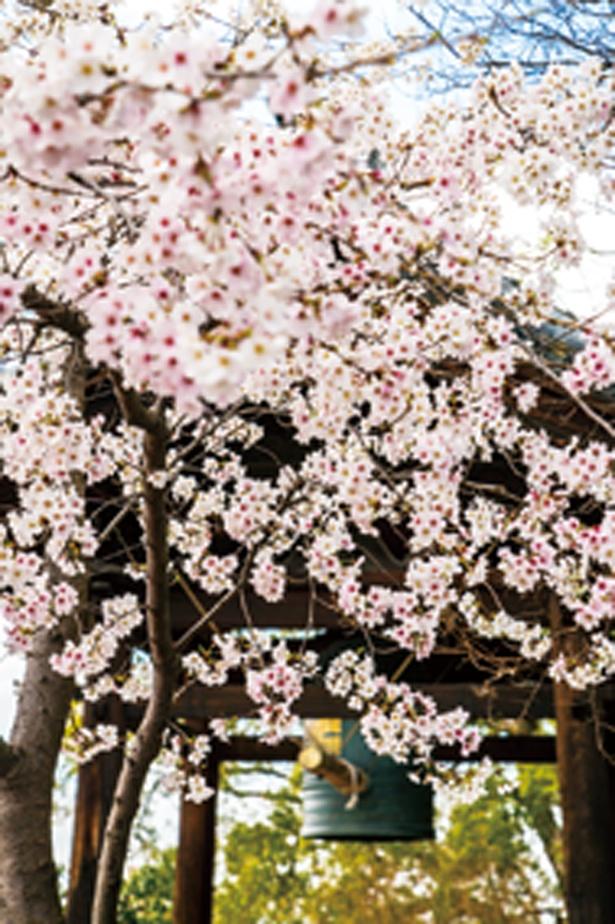 「鐘楼周辺」は、数本のソメイヨシノで華やかに。鐘楼のすぐ近くにお団子やソフトクリームなどが人気の茶屋が。花と団子が同時に楽しめる点も魅力/高台寺