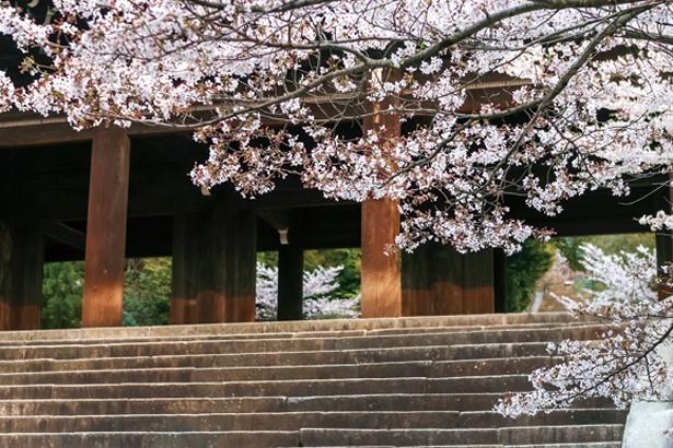 高さ約24mを誇る国宝の三門と、大ぶりのソメイヨシノが織り成す絶景が楽しめる/総本山 知恩院
