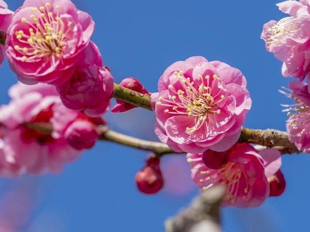 春にひと足早く咲く梅の花