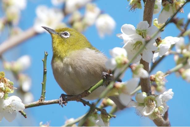 鎌倉時代から安土桃山時代にかけて工芸品には梅と野鳥モチーフが好まれた