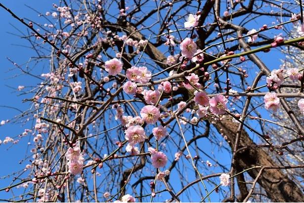 江戸時代、寒い時期に咲くことから侍気質を表すものとして尊ばれた