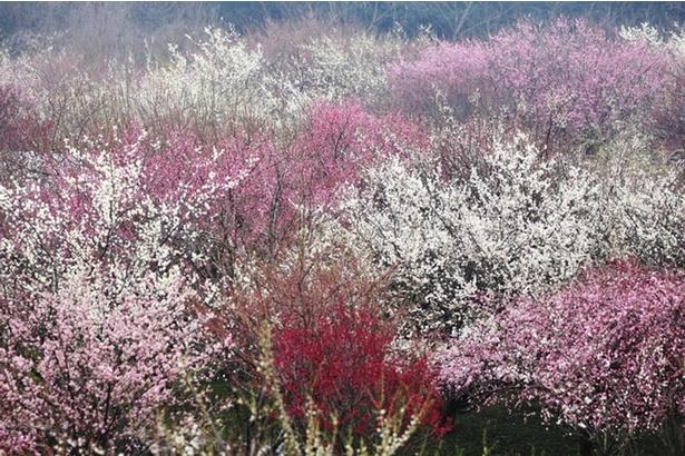 梅鑑賞は歩きながら色の移り変わりと香りを楽しむのがおすすめ
