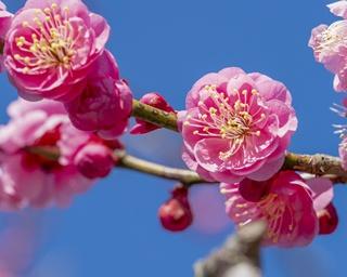 梅の実を投げてカップル成立⁉梅鑑賞をさらに楽しむ由来とハウツー