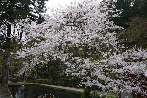 滋賀県醒井養鱒場の桜が見頃を迎える