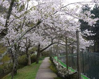 池の周りを満開のソメイヨシノが彩る!滋賀県醒井養鱒場の桜がまもなく見頃
