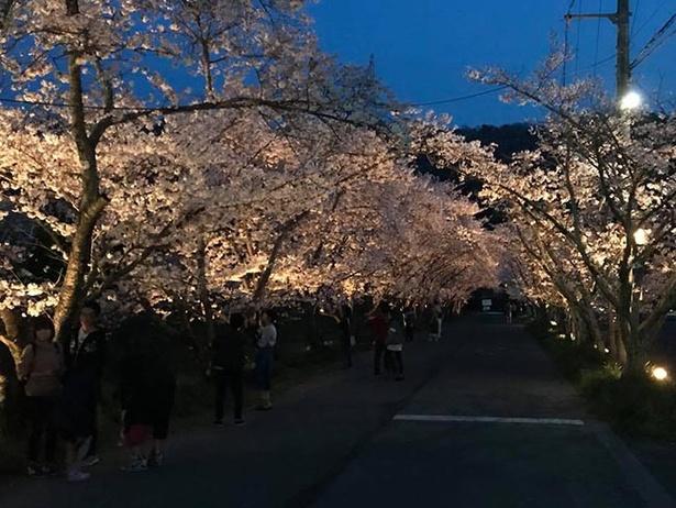 ライトアップされた桜のトンネルをくぐろう