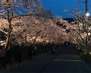 桜を楽しむイベント満載!徳島県名西郡石井町で「石井町桜まつり」開催