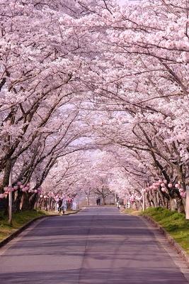 美しい桜のトンネルを歩こう!