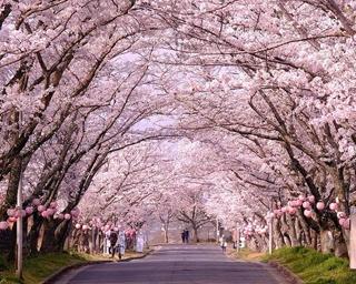 桜トンネル今年も開通!三重県名張市で「第24回名張桜まつり」開催中