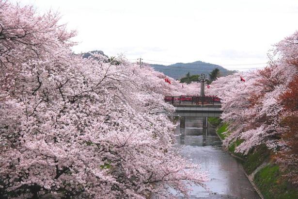 儚い美しさにあっぱれ!日本3大桜や、水面に映る桜を満喫し ...