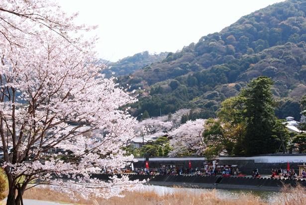 「五十鈴川堤の桜」のお花見(伊勢市宇治)