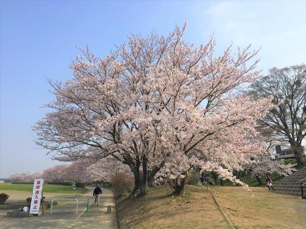 「宮川堤の桜」のお花見(伊勢市中島)