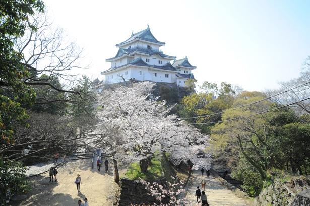 「和歌山城の桜」のお花見(和歌山市一番丁)