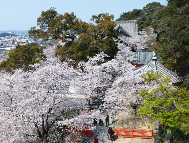「紀三井寺の桜」のお花見(和歌山市紀三井寺)