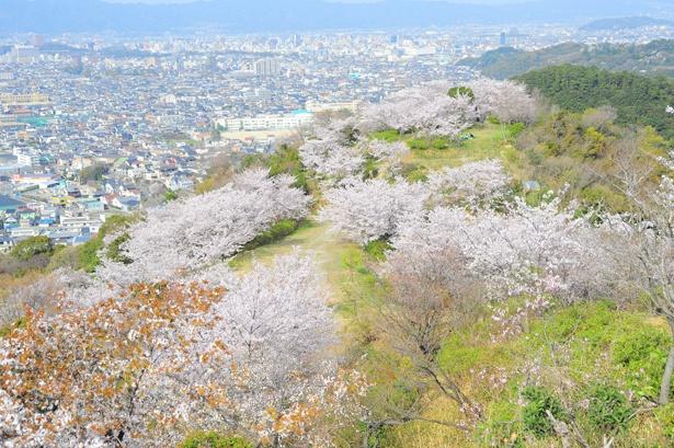 「和歌の浦(高津子山)の桜」のお花見(和歌山市新和歌浦)