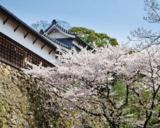 舞鶴公園の桜 / 福岡城跡を華やかに彩る桜