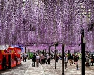 八女黒木大藤まつり / 樹齢600年以上の大藤が鮮やかに咲き誇る