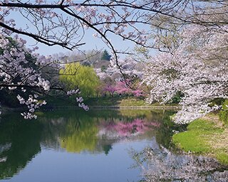 平成最後に行きたい神奈川の1,000本越え!サクラスポット