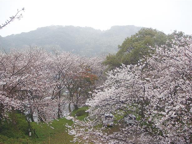【写真を見る】加布里公園 / 国道202号沿いの丘がピンク色に染まる