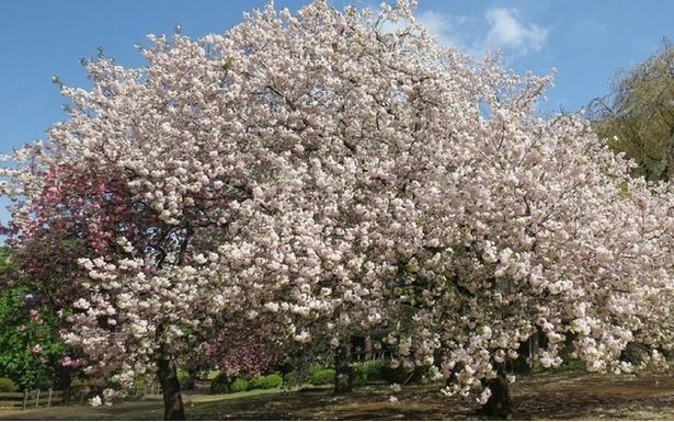 約65種、1000本の桜が咲き誇る新宿御苑