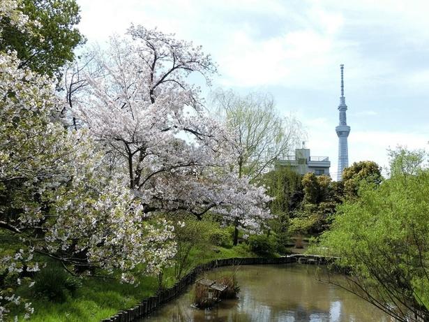 【写真を見る】桜とさまざまな春の草花が織りなす、美しい風景を楽しめる向島百花園