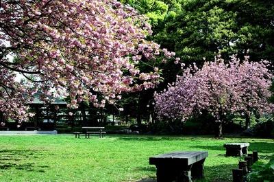 園内で最も遅い時期に見頃を迎える、清澄庭園のサトザクラ