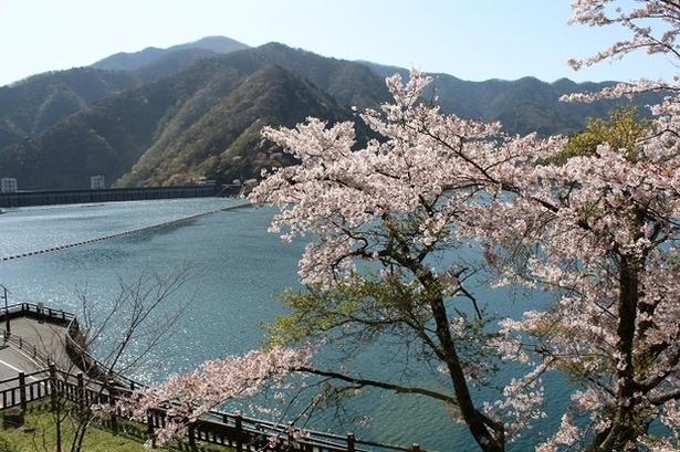湖面に映る桜と、ピンク色に染まる周囲の山々が春の絶景をつくり出す奥多摩湖