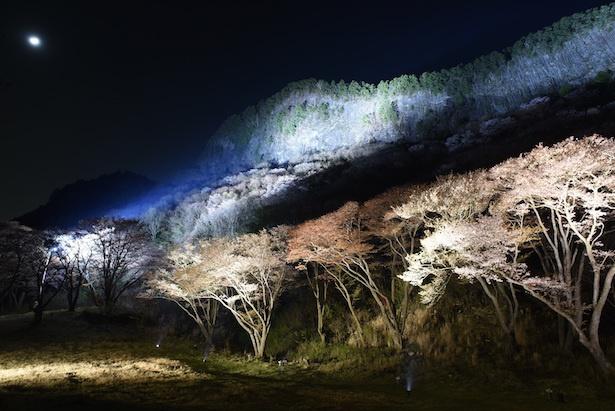 奈良県の屏風岩公苑で桜ライトアップ開催