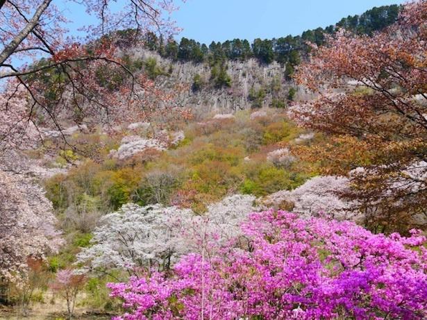 【写真を見る】樹齢100年を超す大木のヤマザクラが咲き誇る