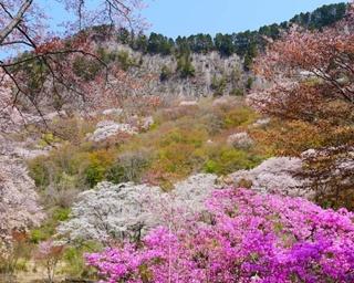 岩肌に映える満開の山桜!奈良県の屏風岩公苑で桜ライトアップ実施中
