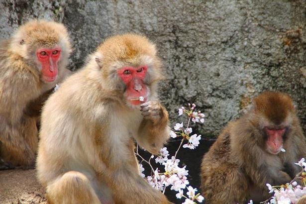 サル山のサルたちもお花見気分を満喫!