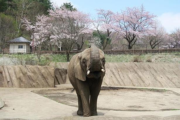 いたるところに植えられている桜の木と動物を一度に楽しめる