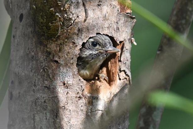 【写真を見る】コゲラの雛の写真も。愛らしい姿は必見