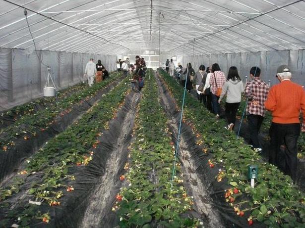 富田林市農業公園サバーファームでは、4品種のいちごを栽培