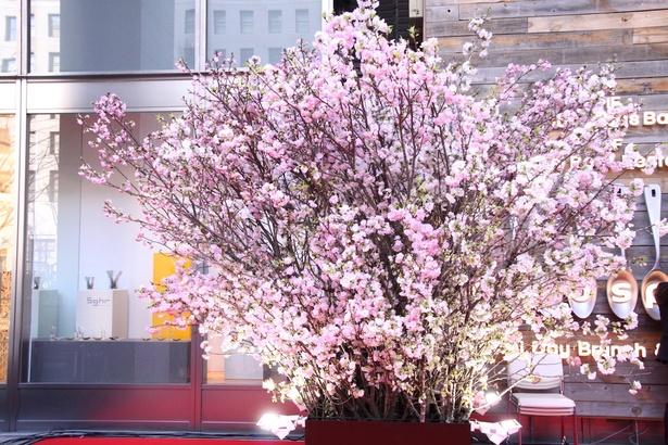 【写真を見る】会場には約3mの巨大な桜の木が飾られており、花見気分で楽しめるように