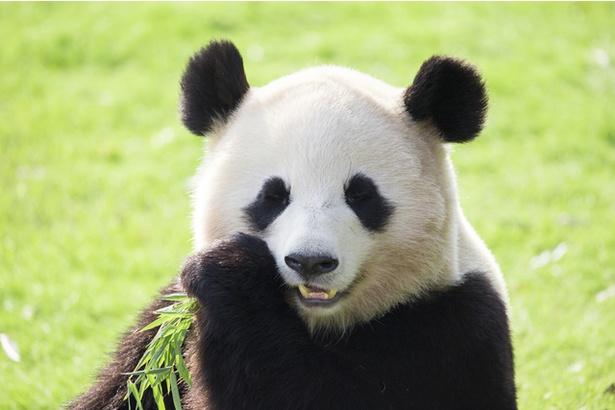 パンダの画像 p1_38