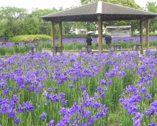 早水公園では開花した約42万本のあやめを鑑賞できる