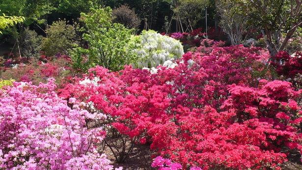 5000株以上のツツジの開花