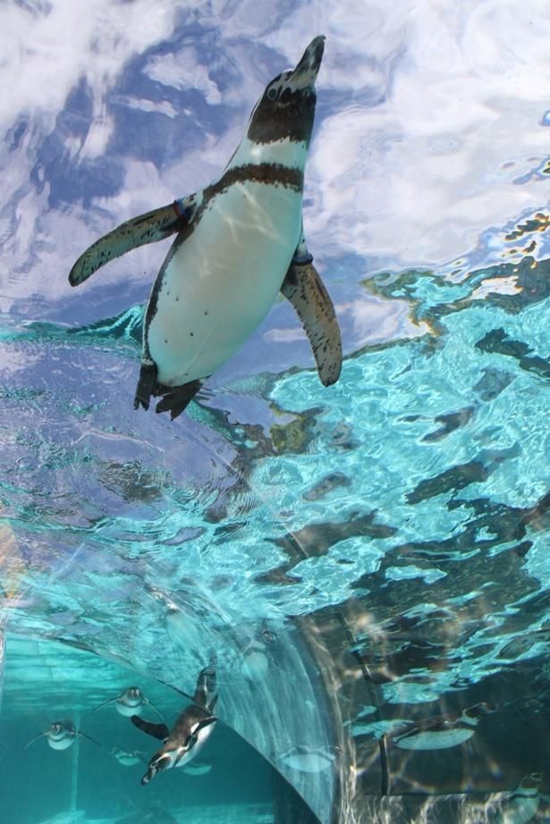 暑い日は涼しげなペンギンを見ていやされたい
