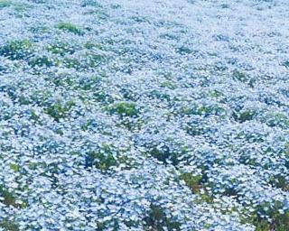GWは舞洲が青一色に!花と空と海の絶景が楽しめる「ネモフィラ祭り2019」を初開催