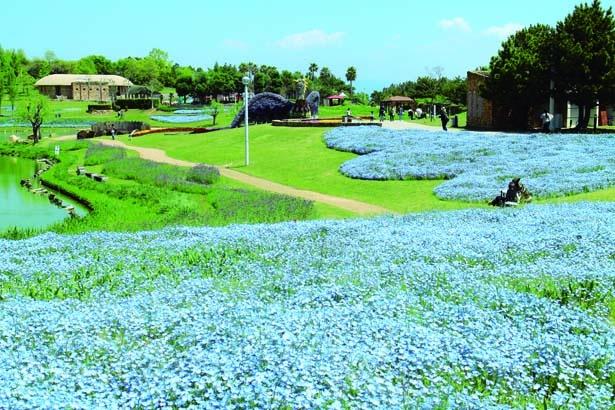 大地の虹南花壇では5月上旬まで約9万株のネモフィラが見ごろ/淡路島 国営明石海峡公園