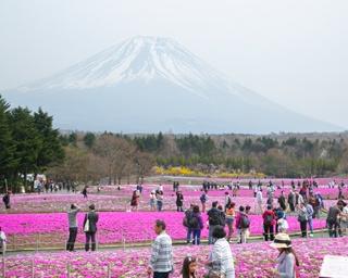 展望カフェ「桜カフェ FUJIYAMA SWEETS」から望む、一面に咲く芝桜と富士山