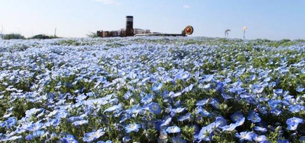 長井海の手公園ソレイユの丘(神奈川県横須賀市)のネモフィラ畑