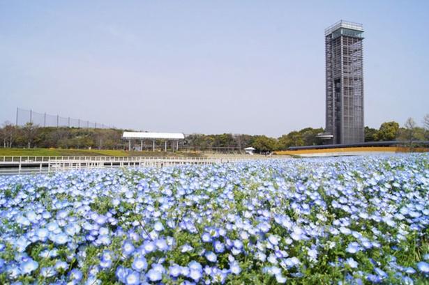 浜名湖ガーデンパーク(静岡県浜松市)のネモフィラ畑