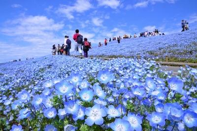 国営ひたち海浜公園(茨城県)のネモフィラ