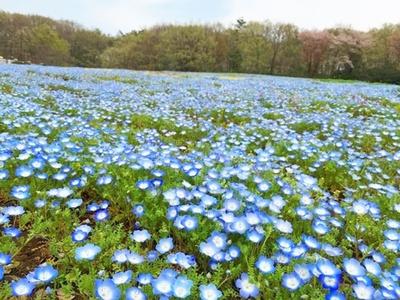 国営武蔵丘陵森林公園(埼玉県比企郡)のネモフィラ畑
