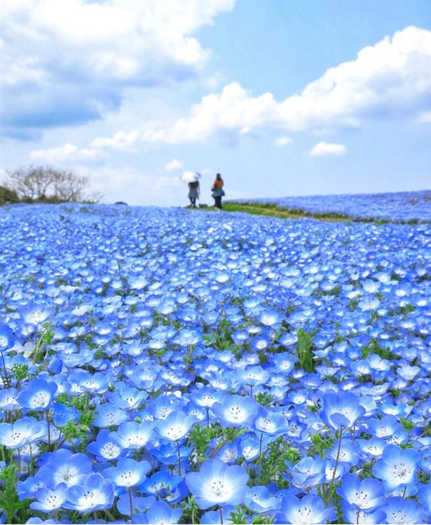 海の中道海浜公園(福岡県福岡市)のネモフィラ畑
