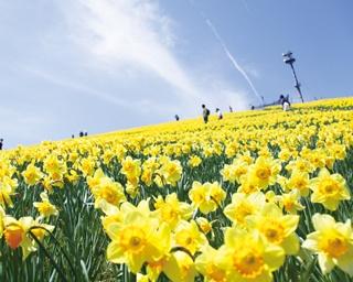 満開のスイセン×テラス絶景!5月の琵琶湖は、感動が2倍!!