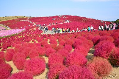 国営ひたち海浜公園のみはらしの丘は、春はネモフィラ、秋はコキア(ほうき草)が咲く