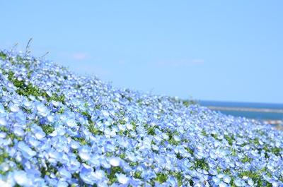 国営ひたち海浜公園のネモフィラの花畑